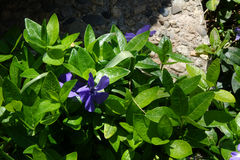 Vinca Creates Nice Groundcover in Garden. Vinca minor features purple flowers, glossy, green leaves and provides a nice groundcover in the garden royalty free stock image
