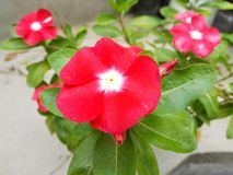 Vinca de madagascar, teresita, good afternoon, flower of delicate color. Which opens under the strong sun of midday, silver of exuberant beauty of perennial royalty free stock images