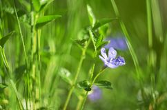 Vinca del fiore sul fondo di verde di rostkoviana delle foglie fotografie stock libere da diritti