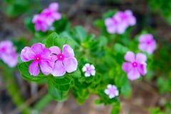 Vinca, flor violeta Imágenes de archivo libres de regalías