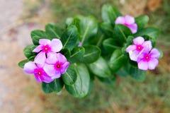 Vinca, flor violeta Imagen de archivo