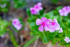 Vinca, flor violeta Imagen de archivo libre de regalías