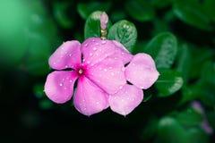 Vinca Flower à feuilles persistantes - image courante Photo libre de droits