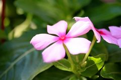 Vinca Flower Fotos de Stock
