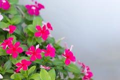 Vinca Flower Lizenzfreies Stockbild