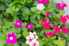 Vinca Flower Lizenzfreies Stockfoto