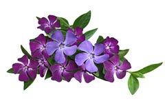 Vinca Flower Royaltyfri Bild