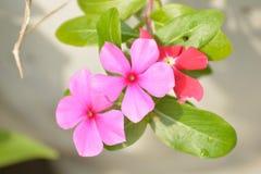 Vinca Flower Fotos de archivo