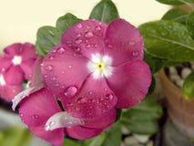 Vinca Flower Immagine Stock