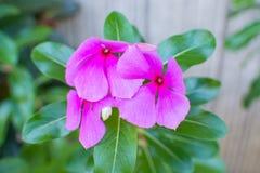 Vinca Flower Foto de archivo