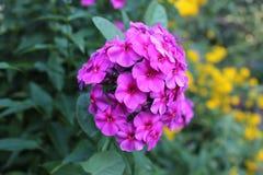 Vinca Flower Stock Foto