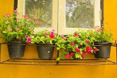 Vinca Flower colorida en potes Imagenes de archivo