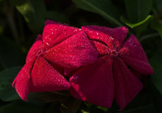 Vinca flower covered with morning dew Stock Image