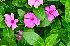 Vinca flower Stock Photos