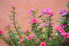 Vinca flower Royalty Free Stock Photos