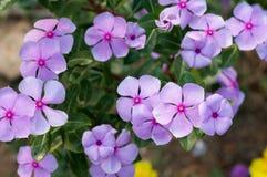Vinca flower. Group of Purple Vinca flower royalty free stock photo