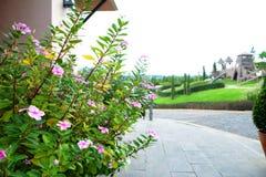 Vinca flower Royalty Free Stock Photography