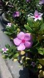 Vinca flower, Madagasca flower,. Pink vinca flower, Madagasca flower Stock Images