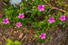 Vinca flower Stock Photography