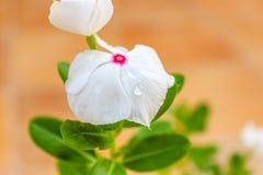 Vinca Flower Royalty Free Stock Photo