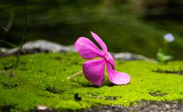 Vinca Flower- pink color royalty free stock images