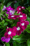 Vinca flower plant Royalty Free Stock Photos