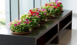Vinca flower plant Stock Photos