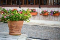 Vinca flower pots stock photography