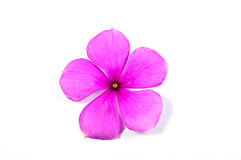 Vinca flower Stock Image