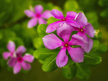 Vinca flowers Royalty Free Stock Photos