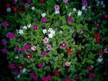Vinca Flowers Blooming ter plaatse royalty-vrije stock afbeeldingen