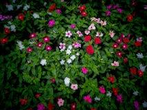 Vinca Flowers Blooming ter plaatse stock foto's