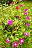 Vinca Flowers colorida en potes. Foto de archivo libre de regalías
