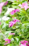 Vinca Flowers. Royalty Free Stock Image