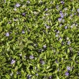 Vinca flowers glade on the sun. Royalty Free Stock Photo