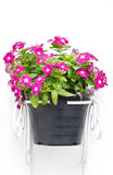 Vinca Flowers Hanging Pot Plant. Royalty Free Stock Photo
