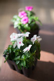Vinca flowers in pots Royalty Free Stock Images