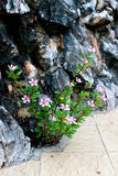 Vinca growing from the hole. The branch of vinca growing from the hole between rocks and concret floor Royalty Free Stock Images