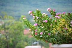 Vinca kwiat Fotografia Stock