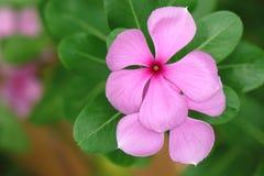 Vinca kwiat fotografia royalty free