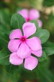 Vinca kwiat zdjęcia royalty free