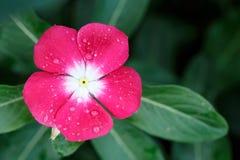 Vinca kwiat, Vinca kwiat z kroplami rosa Obrazy Royalty Free