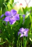 Vinca kwiaty i Obrazy Royalty Free