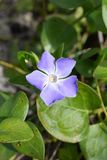 Vinca Major Bigleaf periwinkle close up macro royalty free stock photography