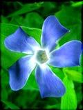 Vinca major flower macro background wallpaper fine art prints royalty free stock photo