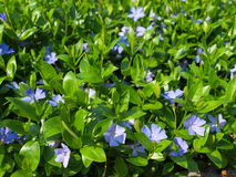 Vinca minor Royalty Free Stock Images
