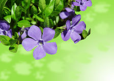 Vinca Minor Royalty Free Stock Photography