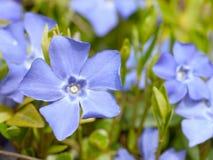 Vinca Minor-bloemen Stock Afbeeldingen