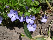 Vinca Minor blommor Arkivfoton