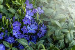 Vinca minor. Vinca minor. Blue spring flowers. Periwinkle plant with flowers. Blue spring flowers. April in Poland. Vinca minor royalty free stock photos